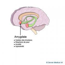 amygdale-1.jpg